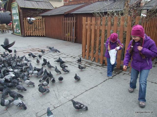 karmienie gołębi