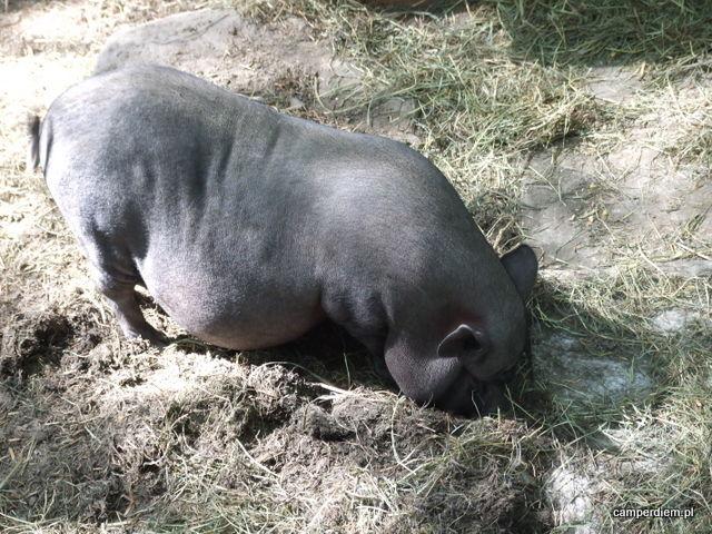miniaturowa świnka
