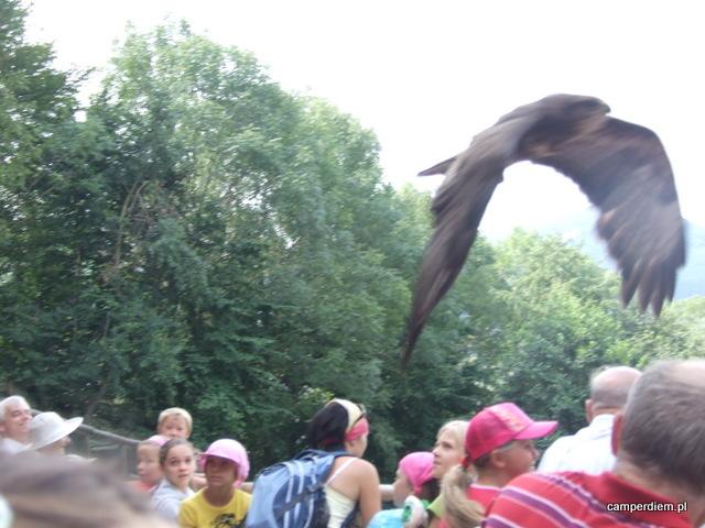 pokaz lotów ptaków drapieżnych w Ustroniu