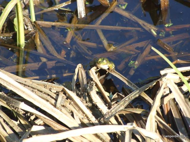 żaby na uroczysku Koterka