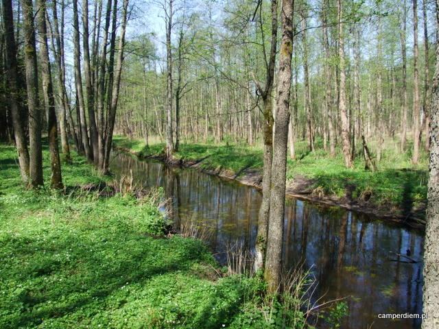 rzeka Łutownia w okolicy Szlaku Dębów Królewskich