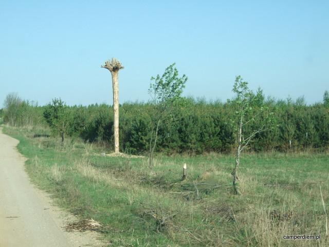 Lasowid na drodze do Zalewu Ozierany