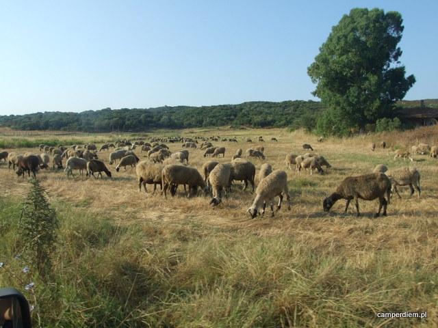 owieczki w Komitsa