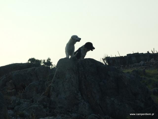psy pilnujące kóz w Ormos Panagias