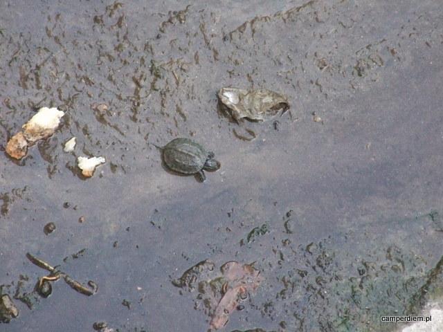 żółwie w Toroni
