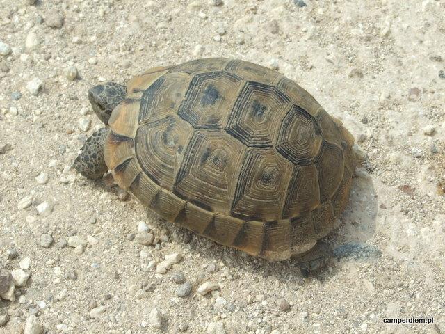 żółw grecki
