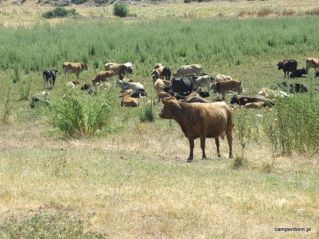 krowy w Psarades