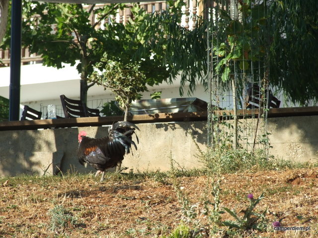 kury w Psarades