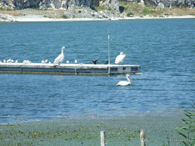 pelikany w Psarades