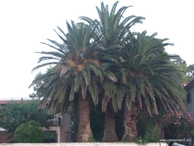 przepiękne palmy w Kanatadika