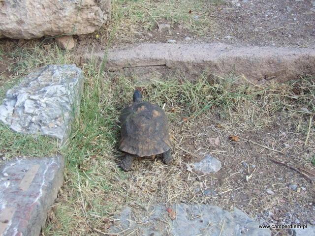żółw w Delfach