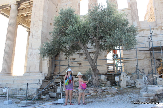 """drzewko oliwne """"Ateny"""""""