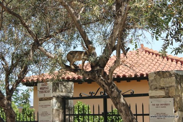 koty ateńskie